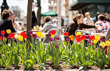 Tulips on Main Street Ann Arbor, MI